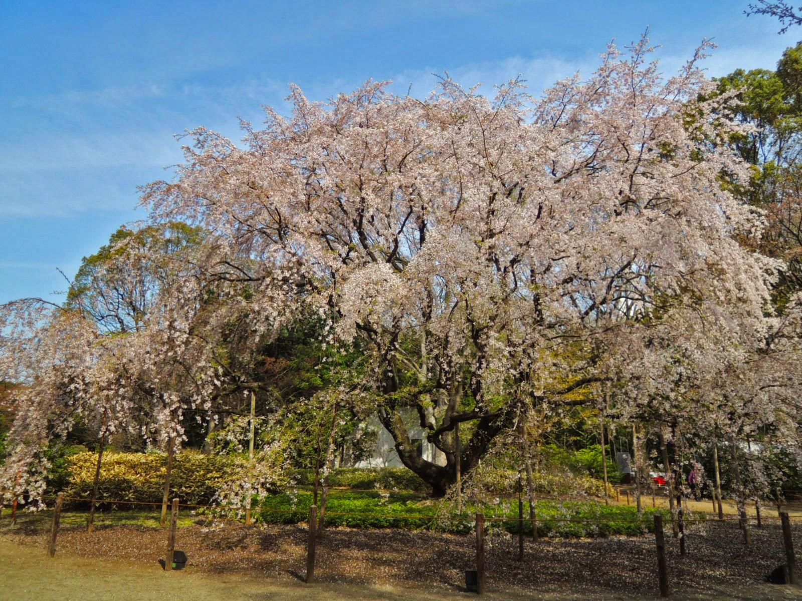 六義園/しだれ桜/tokyo/tokyodorive