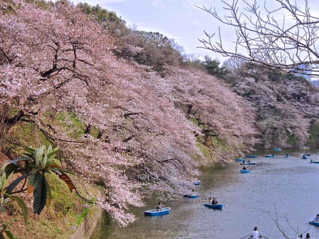 東京観光 千鳥ヶ淵の桜 Cherry Blossoms in Chidorigafuchi