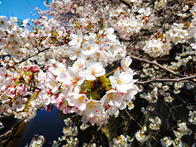 東京観光 目黒川桜まつり