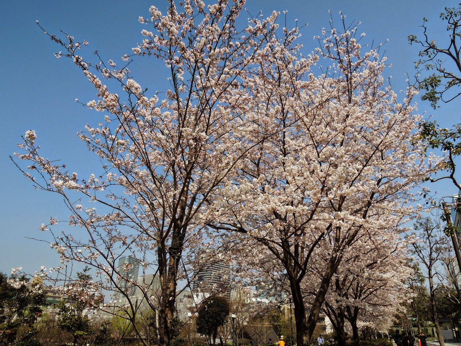 MIDTOWN BLOSSOM 2015