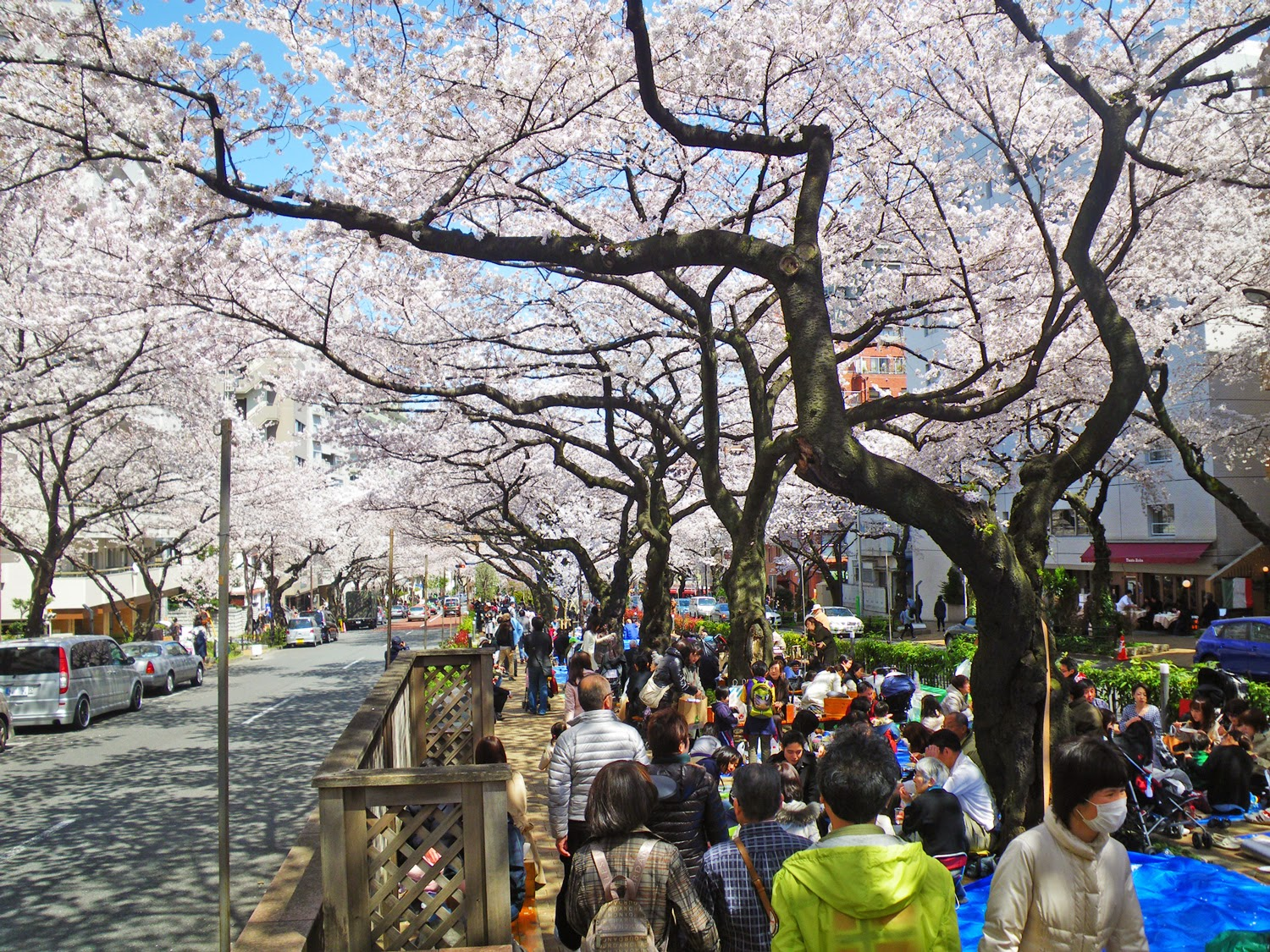 桜 播磨坂 Cherry Blossoms in Harimazaka