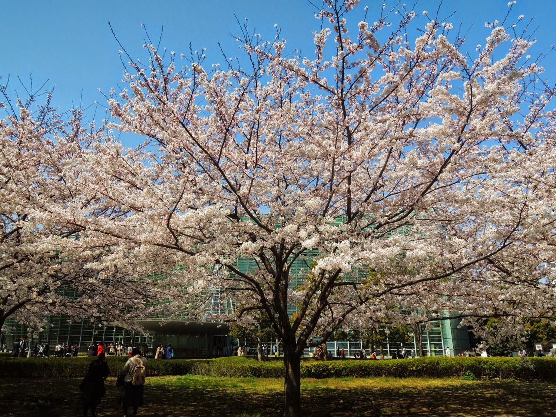 国立新美術館と桜
