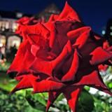 旧古河庭園 「春バラと洋館のライトアップ」 Kyu-Furukawa Gardens
